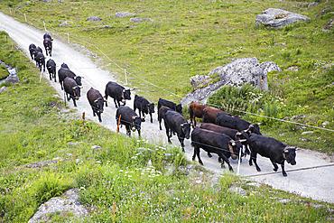 Transhumance of Herens cows, Val de Nandaz, Valais, Switzerland