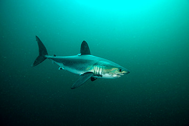 Porbeagle (Lamna nasus) off the coast of Brittany, France, English Channel