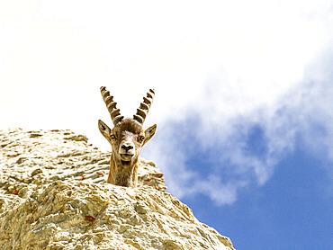 Alpine ibex (Capra ibex) overhanging, Ubaye, Alpes de Haute Provence, France