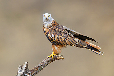Red Kite (Milvus milvus), side view of an adult perched on a dead tree, Basilicata, Italy
