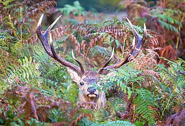 Red deer (Cervus elaphus) stag amongst bracken, England