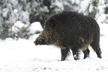 Wild boar in wintertime, Young Tusker, Sus scrofa, Bavaria, Germany, Europe