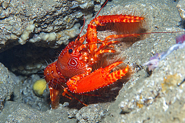 Red atlantic ref lobster (Enoplometopus antillensis). Carapace about 15 cm long with circular patterns on each side of the head. It lives in dimly lit environments dome crevices, hollows and caves. Marine invertebrates of the Canary Islands, Tenerife.