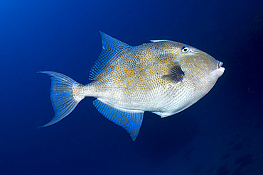 Grey triggerfish (Balistes capriscus). Fish of the Canary Islands, Tenerife.