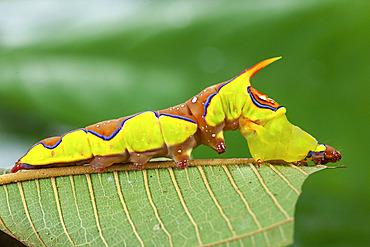 Rhuda (Rhuda decepta), caterpillar on leaf, Iquitos, Peru