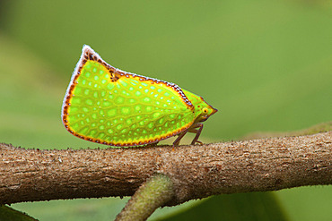 Planthopper (Salurnis marginella), Tasik Pedu, Malaisie