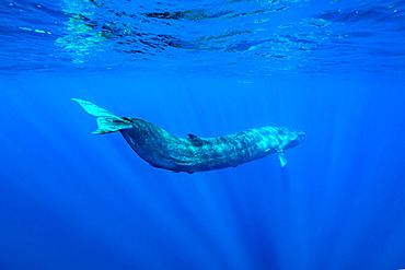 Bryde's whale (Balaenoptera edeni) is a baleen whale, more specifically a rorqual belonging to the same group as blue whales and humpback whales. Mirissa, Southern Province, Sri Lanka, Bay of Bengal, Indian Ocean