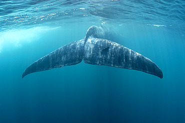 Tail of Blue whale (Balaenoptera musculus brevicauda) is the largest animal ever known to have existed. This may be the pygmy sub-species of blue whale, Balaenoptera musculus. Mirissa, Sri Lanka, Indian Ocean Photo taken under permit