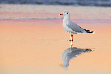 Black-headed Gull (Chroicocephalus ridibundus), side view of an adult in winter plumage standing on the shore, Campania, Italy