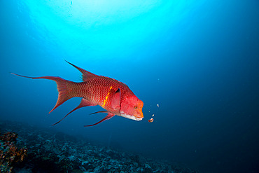 Mexican hogfish (Bodianus diplotaenia) feeding on barnacles in the Wildlife Sanctuary of Malpelo Island, Colombia.