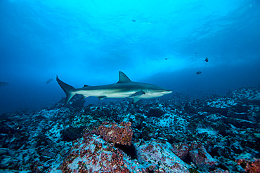Galapagos shark (Carcharhinus galapagensis) in the Fauna and Flora Sanctuary of Malpelo Island, Colombia