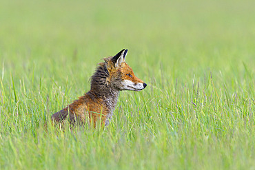 Red fox (Vulpes vulpes) in a meadow, April, Hesse, Germany