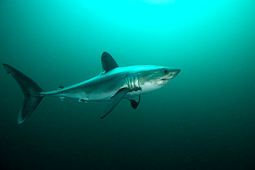 Porbeagle shark (Lamna nasus) off the coast of Brittany, Channel, France