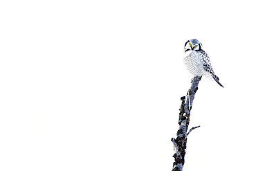 Northern hawk-owl on a branch, Surnia ulula. Tanabru, Norway