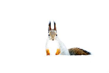 Red squirrel in snow, Sciurus vulgaris. Kaamanen, Finland