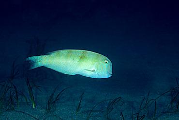 Pearly razorfish, (Xyrichtys novacula), Ponza island, Italy, Tyrrhenian Sea, Mediterranean