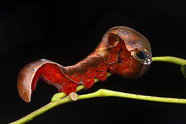 Owlet moth (Phyllodes sp) caterpillar, Kinabalu NP; Borneo, Malaysia