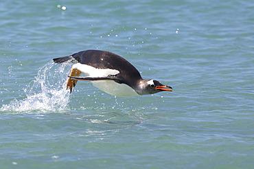 Porpoising Gentoo penguin (Pygoscelis papua), Bleaker island, Falkland, January 2018