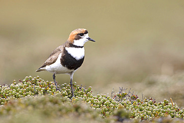 Two-banded Plover on Diddle-dee (Charadrius falklandicus), Bleaker island, Falkland, January 2018