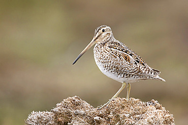 Magellan snipe (Gallinago paraguaiae) perched on mosses, Bleaker island, Falkland, January 2018
