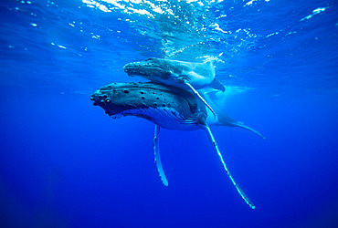 Humpback whale (Megaptera novaeangliae) calf resting on its mother swimming around the island of Rurutu in the Austral Archipelago in French Polynesia.