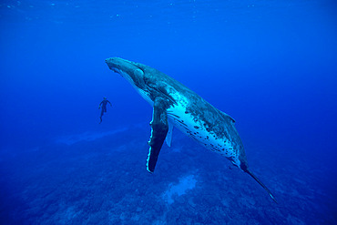 Humpback whale (Megaptera novaeangliae) facing a snorkeler in the waters of the Pacific Ocean.