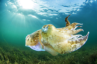 Common cuttlefish (Sepia officinalis)swimming in the Thau lagoon, Bouzigues, Herault, Occitania, France.