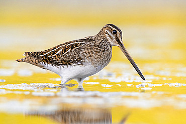 Common Snipe (Gallinago gallinago), side view of an individual standing in the water, Campania; Italy