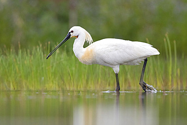 Eurasian Spoonbill (Platalea leucorodia), side view of an adult standing in the water, Campania, Italy