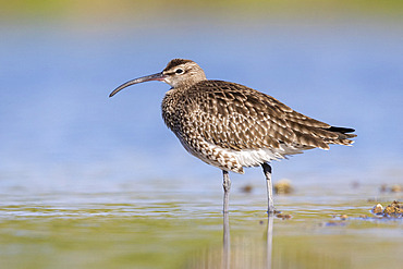 Eurasian Whimbrel (Numenius phaeopus), side view of an adult standing in the water, Campania, Italy