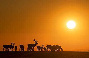 Red deer (Cervus elaphus) group walking in a meadow at sunset