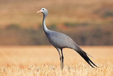Blue crane (Anthropoides paradisea), Overberg, South Africa, December 2018