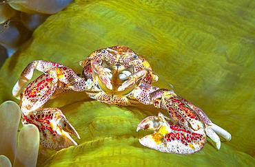 Porcelain crab (Neopetrolisthes oshimai) on its green anemone, Raja Ampat, Indonesia