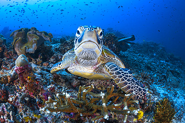 Face to face with a green turtle (Chelonia mydas) on the Sawandarek site. Raja Ampat