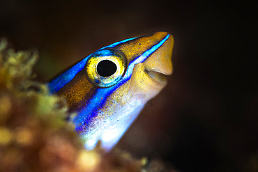 Happy fFsh, Bluestriped fangblenny (Plagiotremus rhinorhynchos) sticking her head out of her hole with a joyful smile, Mayotte