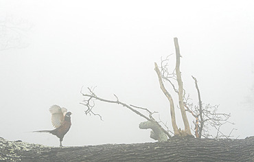 Pheasant (Phasianus colchicus) flapping his wings in the mist, England