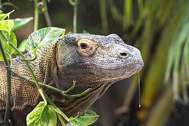 Komodo Dragon (Varanus komod?nsis) portrait, Komodo, Flores, Rinca, Indonesia