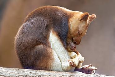 Goodfellow's Tree Kangaroo (Dendrolagus goodfellowi) with joey, New Guinea