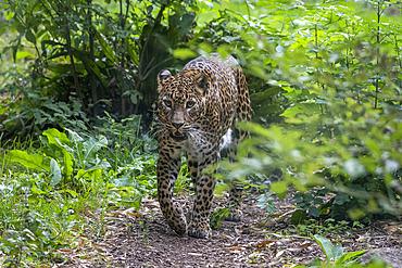 Sri Lanka Leopard (Panthera pardus kotiya) walking, Skri Lanka