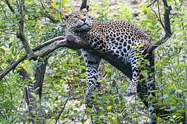 Javan Leopard (Panthera pardus melas) on a branch Java Island, Indonesia