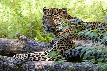 Javan Leopard (Panthera pardus melas), Java Island, Indonesia