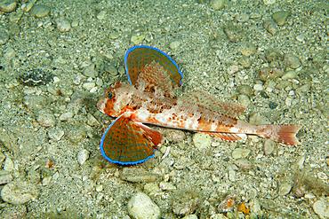 Tub gurnard, Chelidonichthys lucerna, Puolo Bay, Marine Protected area Punta Campanella, Massa Lubrense, Penisola Sorrentina, Costa Amalfitana, Italy, Tyrrhenian Sea, Mediterranean