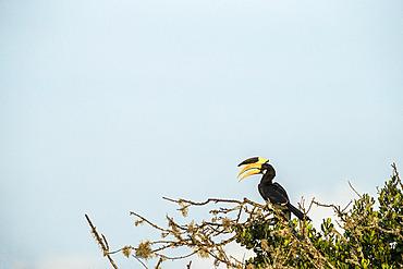 Malabar pied hornbills, male (Anthracoceros coronatus) perched in tree, Yala National Park, Southern Province, Sri Lanka.