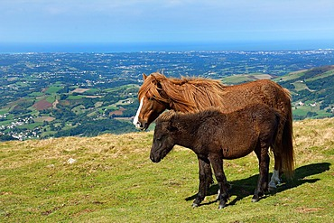 Horse and Pottok in summer at the top of Mount Baygoura (Baigura) : in the distance the Basque coast, Pyrenees-Atlantiques, France