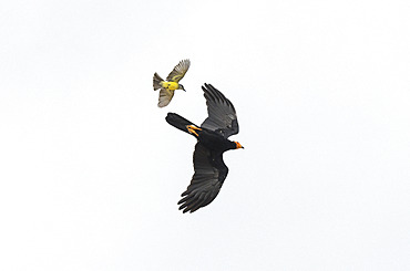 Black Caracara (Daptrius ater) hooted in flight by aTropical Kingbird (Tyrannus melancholicus), Alter do Chao, Brazilian Amazon.