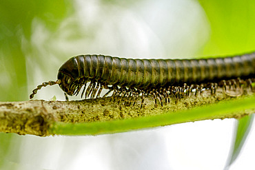 Millipede of Guyana (Orthoporus lomonti) on a branch on the Mirande trail in the National Nature Reserve of Mount Grand Matoury, French Guiana