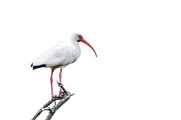 White ibis (Eudocimus albus) on a dead tree in Manuel Antonio Park, Costa Rica