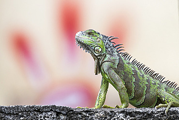 Young green Iguana (Iguana iguana) on a wall in front of a hand-shaped tag painted on a building in Fort-de-France, Martinique