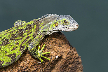 Young Green Iguana (Iguana iguana) young on a rock by the sea in the Salvation Islands, French Guiana