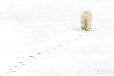Polar bear (Ursus maritimus) wandering alone on the pack ice, leaving its footprints in the snow, arctic ocean off the coast of Spitsbergen.